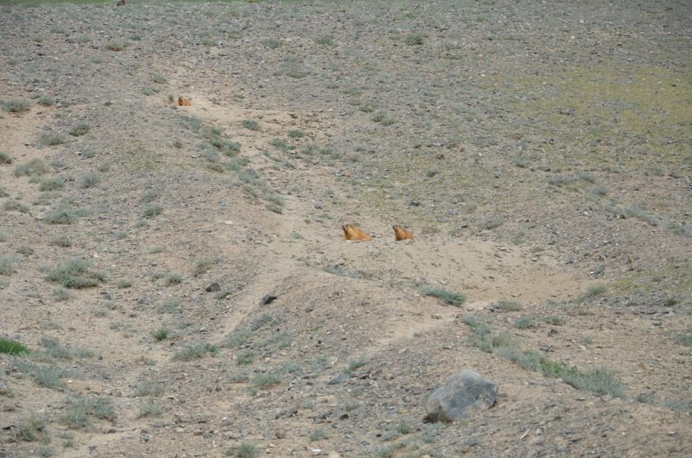 DSC_5564_Marmot (Large)